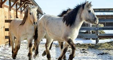 Якутские-лошади-7-1-620x330.jpg