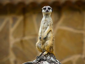 Meerkat_At_the_zoo_Novosibirsk_Siberia.j
