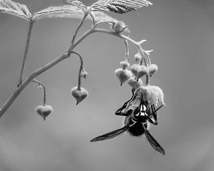 Bald Face Hornet - Pat Watts.jpg