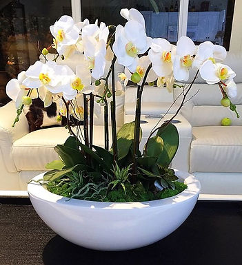 Potted Phalaenopsis Orchids