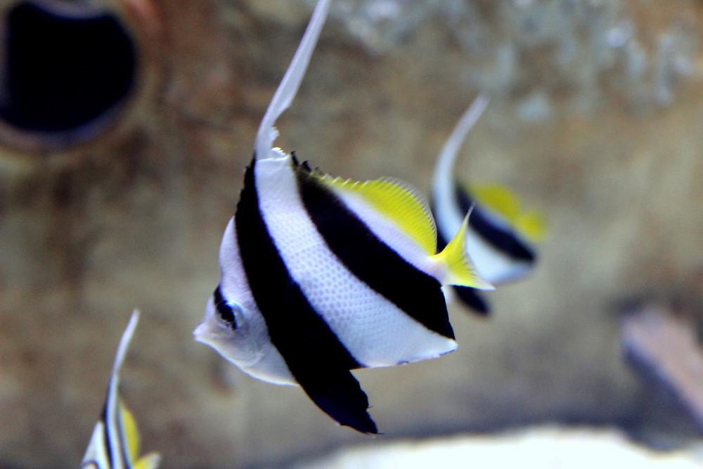 שרביטית להקנית, דג יפהפה בצבעים שחור לבן וצהוב