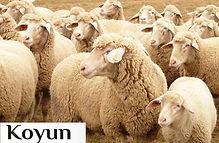 koyun_500x333anasayfa.jpg