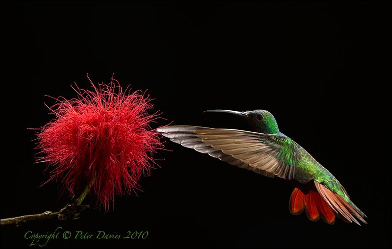 Embrace of a Hummingbird
