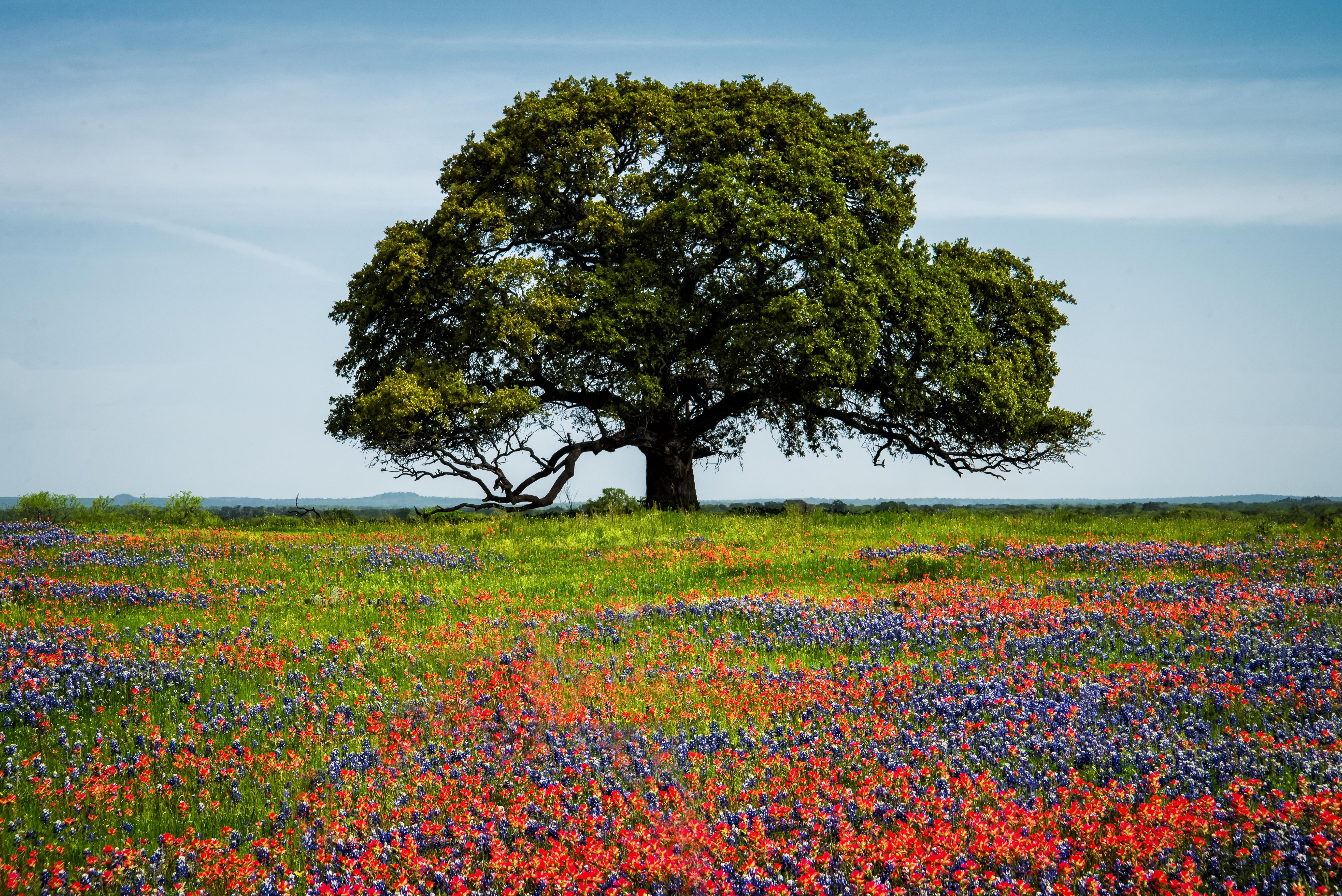 Llano's Tree