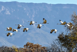 Los Pablanos Cranes