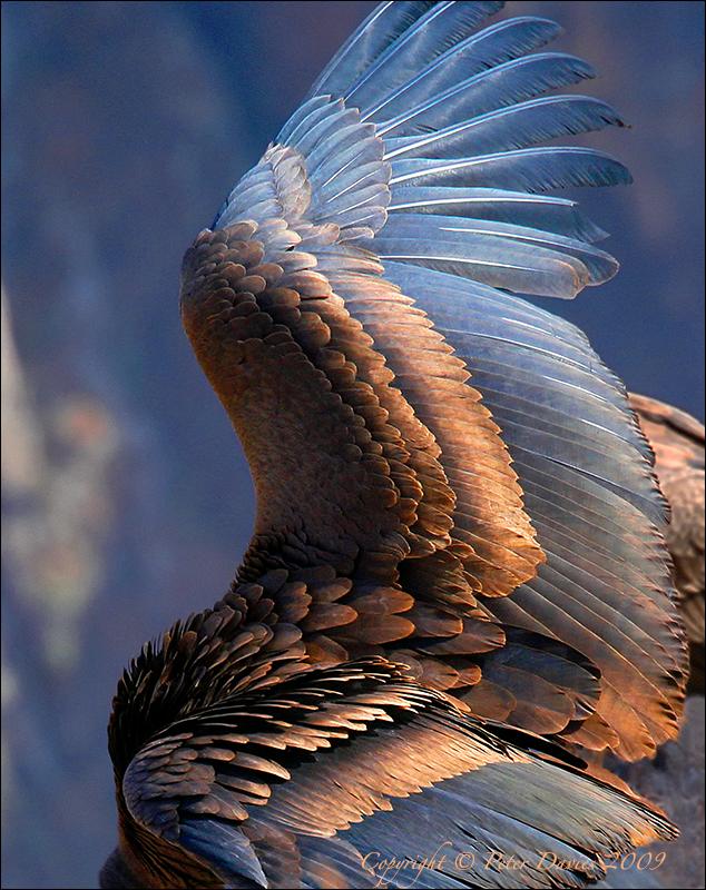 Condor Takes Flight