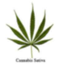 cannabis-sativa-leaf.jpg