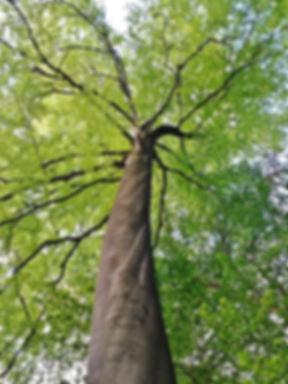 buchenbaum.jpg