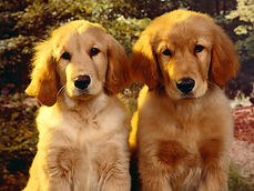 Golden-Retriever-Puppies-1.jpg