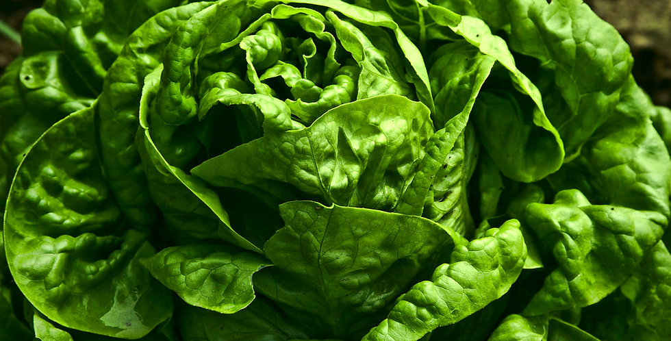 Lettuce 'Buttercrunch'