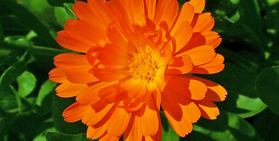 Calendula 'Pot Marigold'