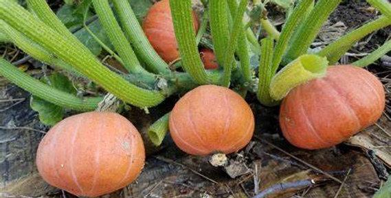 Pumpkin - Golden Nugget
