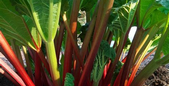 Rhubarb _ Glaskins Perpetual