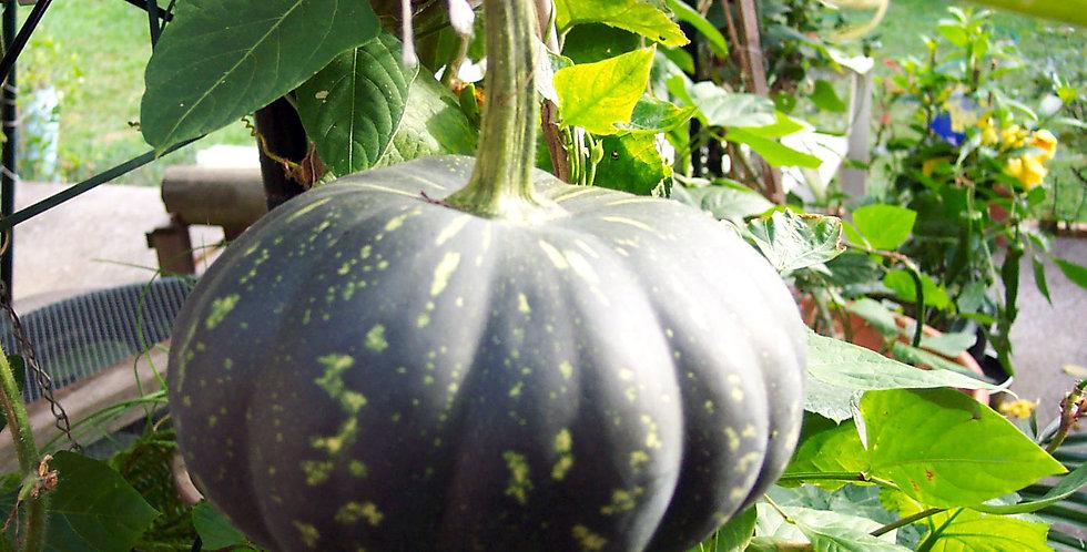 Pumpkin -Jap / Kent