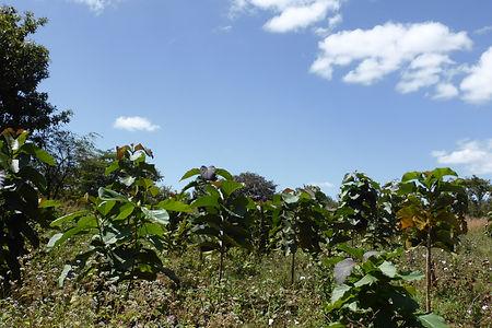 Tic Tree plantation in Kitgum 2019.jpg