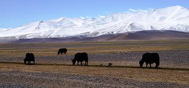 yaks in Pamir