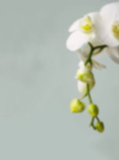 Phalaenopsis orchid.jpg