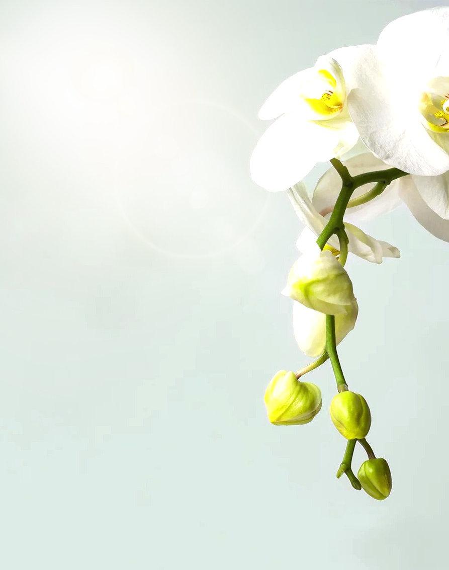 Phalaenopsis%20orchid_edited.jpg