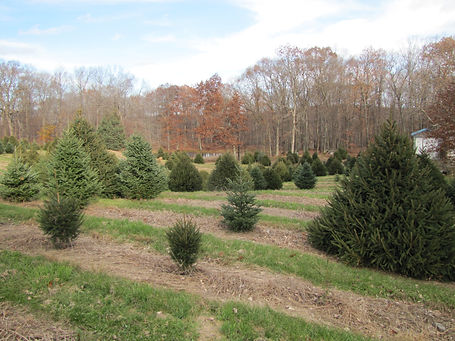 Christmas trees for 2018 web site (4).JP