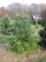 Christmas trees for 2018 web site (3).JP