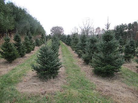 Christmas trees for 2018 web site (5).JP