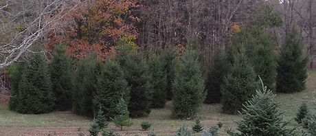 trees - tall 01 (2).jpg