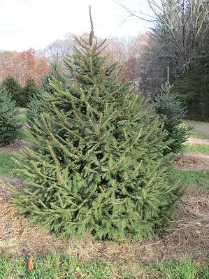 Christmas trees for 2018 web site (2).JP