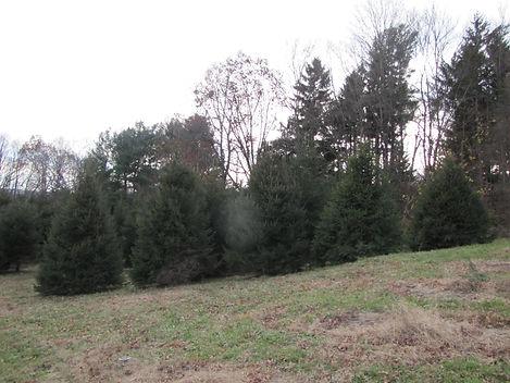 Christmas trees for 2018 web site (6).JP