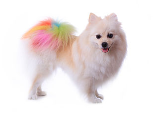 White Pomeranian Dog Grooming Colorful T