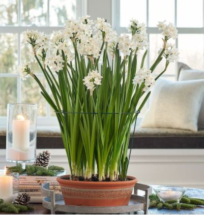 paperwhite bulbs, bulbs for Holidays, bulbs to grow indoors