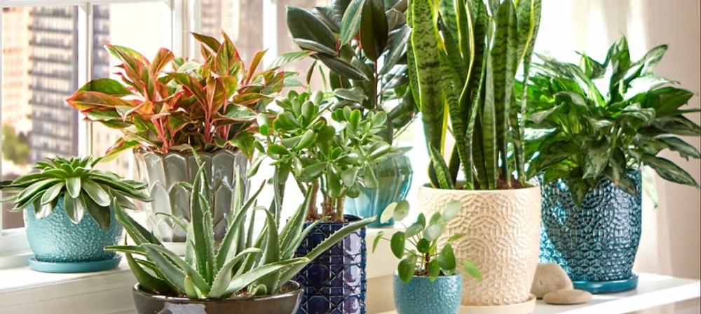 indoor plants, potted plants, sanservia, snake plant