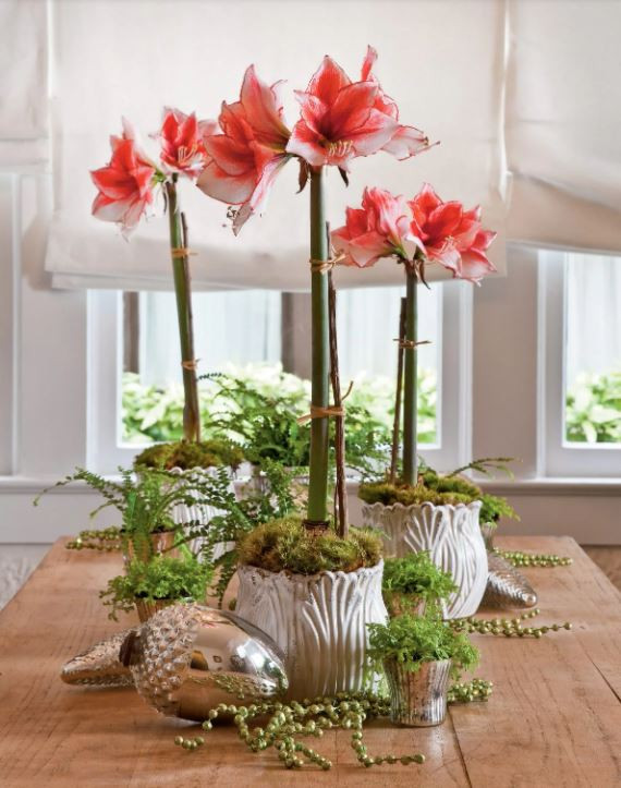 forced bulb in container, amaryllis in container