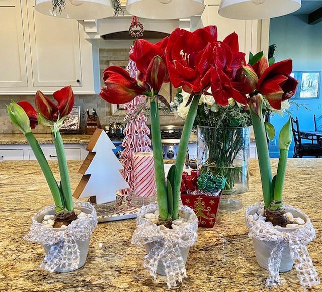 amaryllis, christmas bulbs, christmas flowers