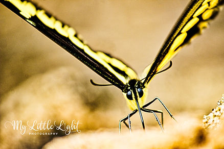 Scenic Photography Butterfly Champagin Peoria Bloomington Photographer