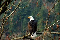 Eagle image for GCIT website