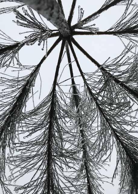 frozen pine1