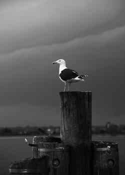 Stormy Gull