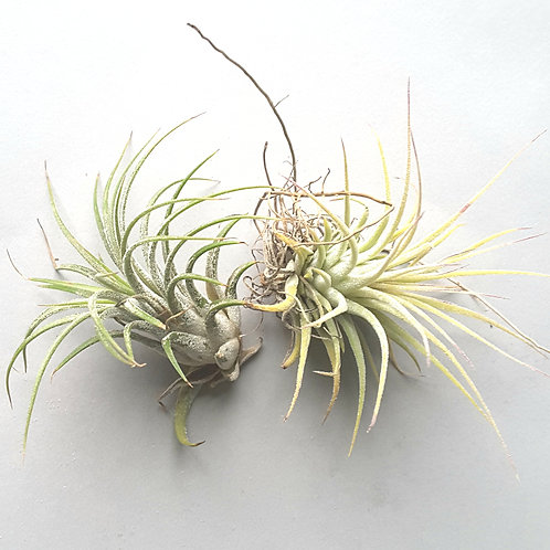 Replacement Airplant For Small Airplant Jellyfish