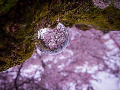 Lens Ball on Cherry Blossom Branch