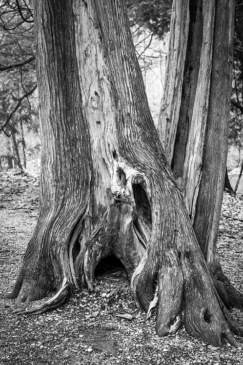 Tree Trunk in Black and White