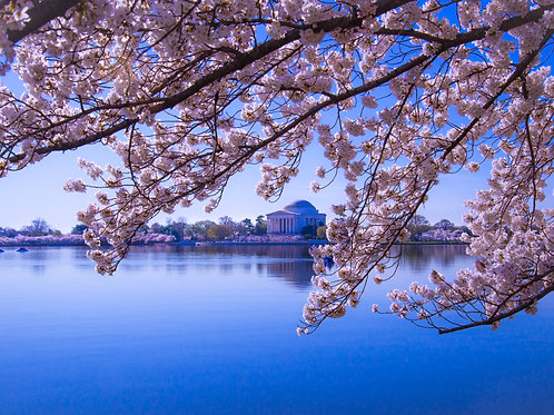 Jefferson Memorial with Cherry Blossoms in Blum