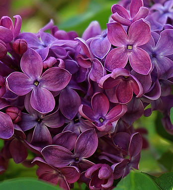 lilac-flower-5239959_1920.jpg
