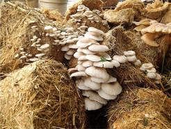Mushroom Internship Findings