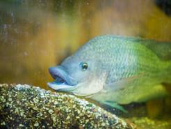 Fish Feed Experiment – Spent Grain