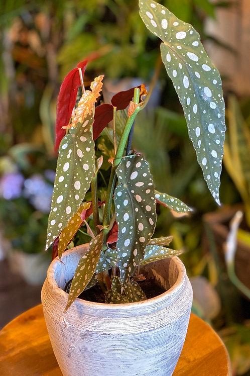 Begonia silverspot