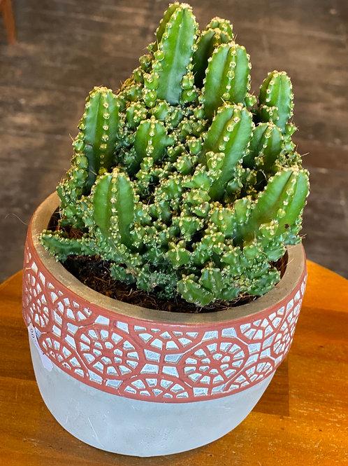 Mexican Cactus in ceramic pot
