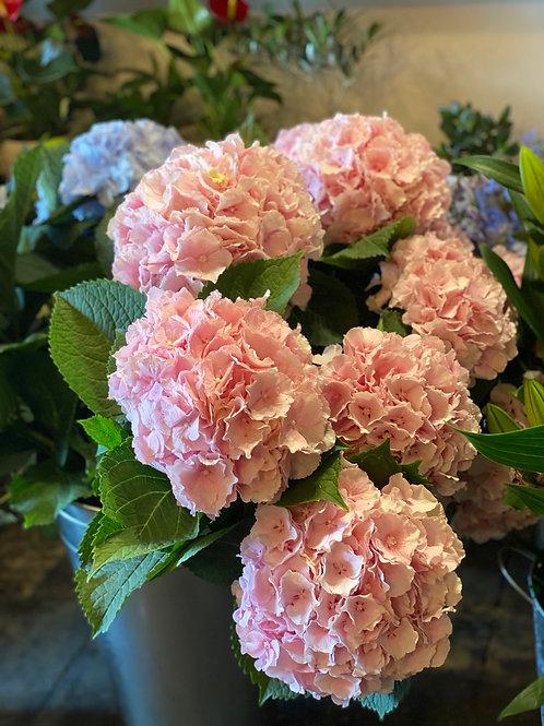 5 Vintage pink hydrenga