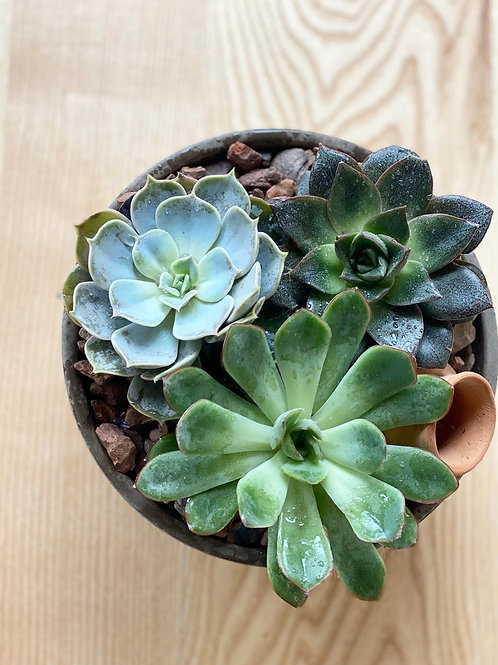 Succulents in terracotta pot