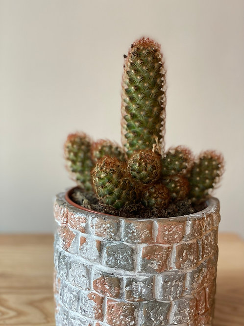 Cactus with stone pot