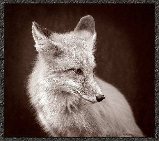 Red Fox in Sepia Tone